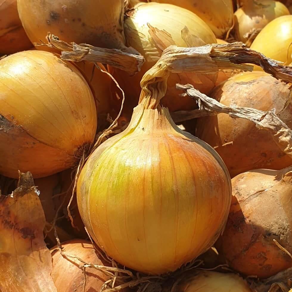 Haap Lagerzwiebel, aus eigenem Anbau