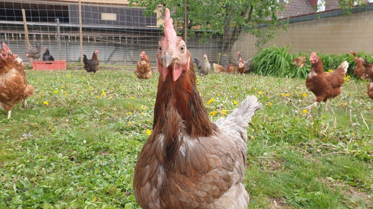 Bauern- und Gemüsehof Haap, unsere glücklichen Hühner
