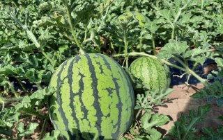 Miniwassermelonen