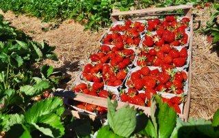 Erdbeeren aus eigenem Anbau