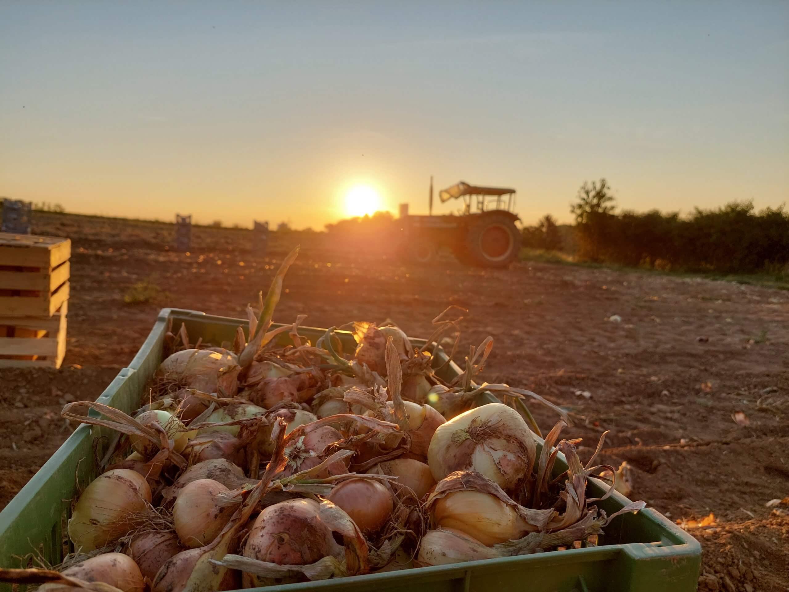 Bauer- und Gemüsehof Haap, Zwiebel Ernte